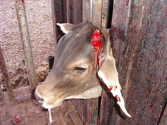 Lehmale tehakse vägivaldseid protseduure ilma tuimestuseta.