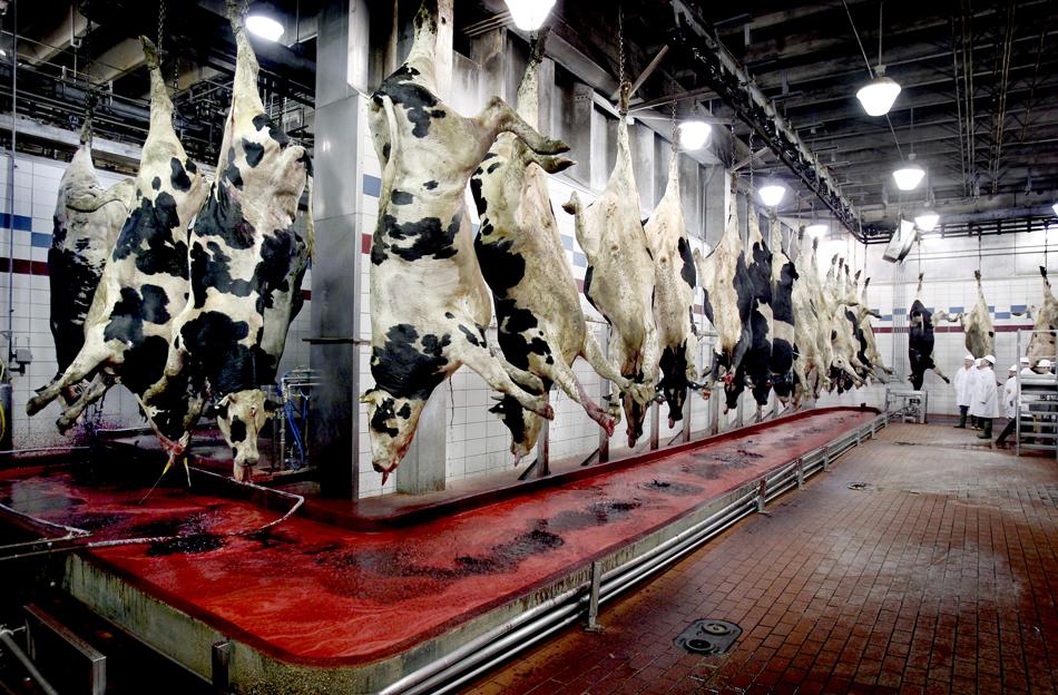 Lehmi hoitakse elus täpselt nii kaua, kuni see on majanduslikult kasulik.